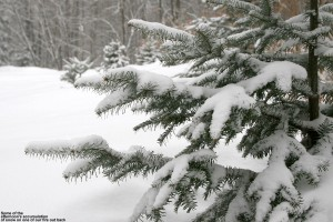 An image of snowy evergreen branches