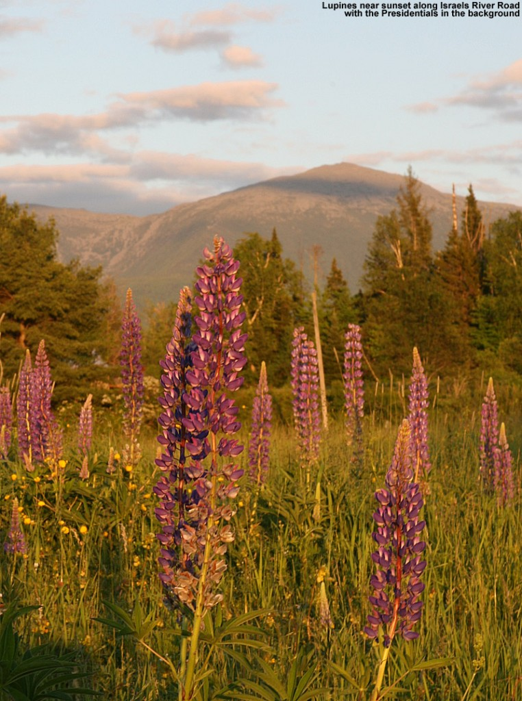 Image of lupines at sunset with the Presidential Range in the background