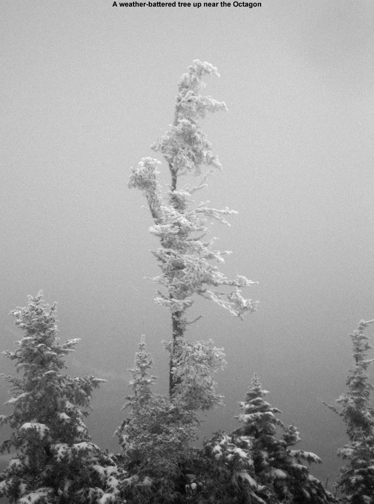 A black and white image of a weather-battered tree as viewed from the Octagon building at Vermont's Stowe Mountain Resort near the top of Mt. Mansfield