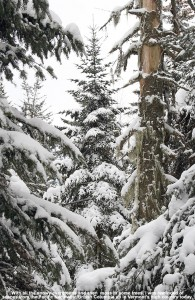 An image of evergreens with snow and some hanging moss along the Catamount Trail north of Bolton Valley Ski Resort in Vermont