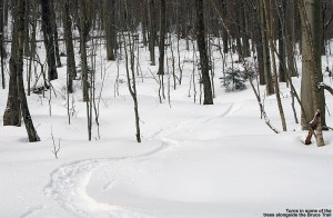 An image of ski tracks in powder among trees along the Bruce Trail in the sidecountry of Stowe Mountain Resort in Vermont