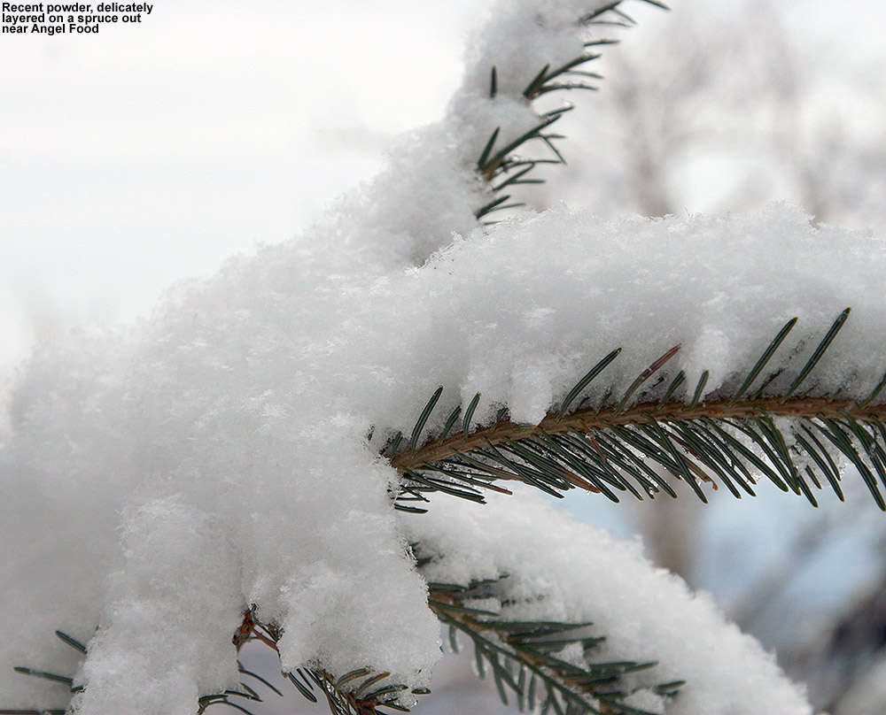 A close-up image of powder snow on a spruce branch out in the Angel Food sidecountry area at Stowe Mountain Ski Resort in Vermont