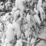 An image of fluffy powder snow sitting on evergreen boughs in the Villager Trees area of Bolton Valley Ski Resort in Vermont