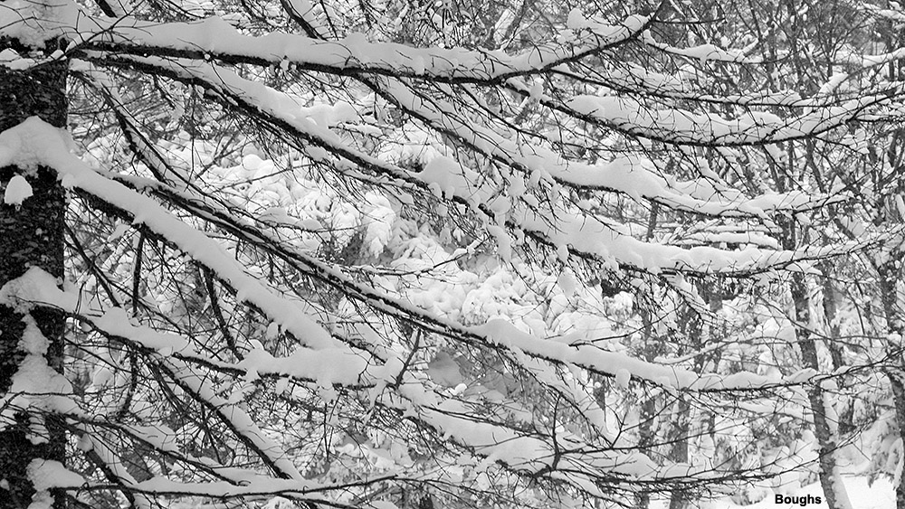An image of snow sitting on dead branches on an evergreen in the Villager Trees area of Bolton Valley Ski Resort in Vermont