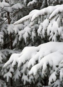 An image of fresh snow on evergreen boughs along the side of the Cobrass Trail at Bolton Valley Ski Resort in Vermont