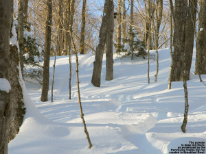 An image of ski trakcs in deep powder in the Breakfast Bowl area of the backcountry network at Bolton Valley Ski Resort in Vermont