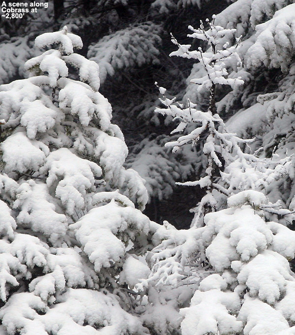 An image of evergreen boughs covered with snow from a late April, snowstorm up at Bolton Valley Ski Resort in Vermont