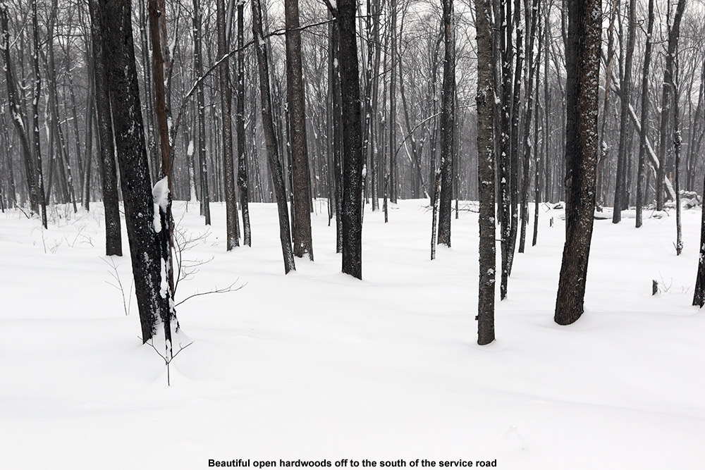 An image of nicely-spaced hardwood trees in the Robbins Mountain Wildlife Management Area in Vermont taken during a backcountry ski tour