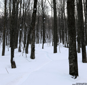An image of a ski track in powder snow out in the Bolton Valley backcountry in Vermont