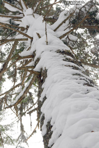 An image showing snow clinging to the side of a large spruce tree in the woods at Bolton Valley Ski Resort in Vermont