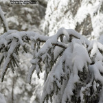 An image of a snowy evergreen after an early April storm on the Nordic and Backcountry trail network at Bolton Valley Ski Resort in Vermont