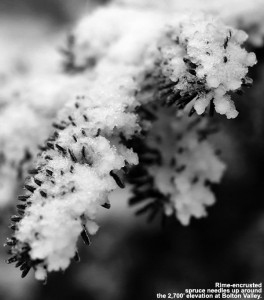 An image of rime on spruce needles at Bolton Valley Ski Resort in Vermont
