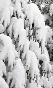 An image of snowy evergreens in the Nosedive Glades at Stowe Mountain Resort in Vermont