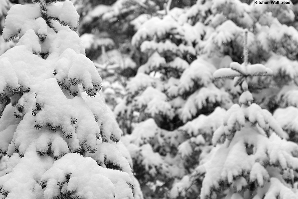 An image snowing fresh snow on Evergreens after an April snowstorm at Stowe Mountain Resort in Vermont