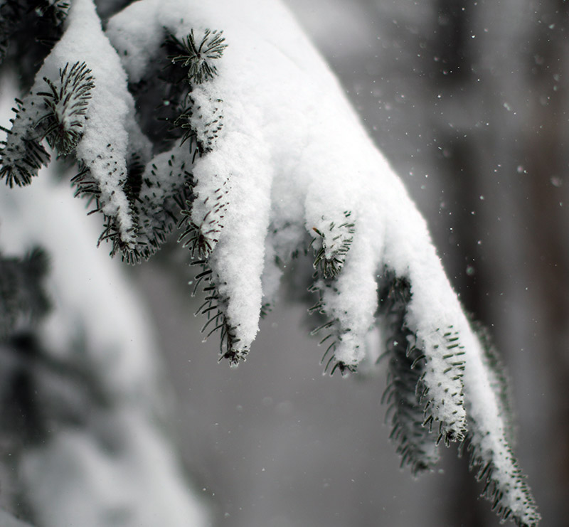 An image of an evergreen bough with snow at Bolton Valley Ski Resort in Vermont