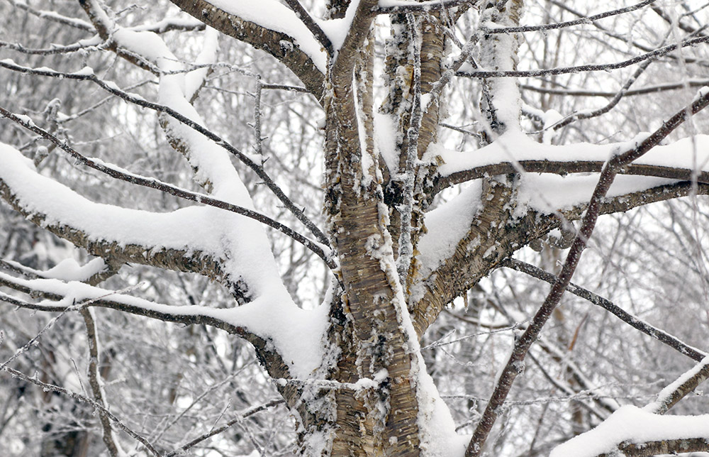 An image of fresh snow on the branches of a yellow birch tree at Bolton Valley Ski Resort in Vermont