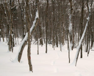 An image of a glade in the Bolton Valley backcountry network at Bolton Valley Ski Resort in Vermont