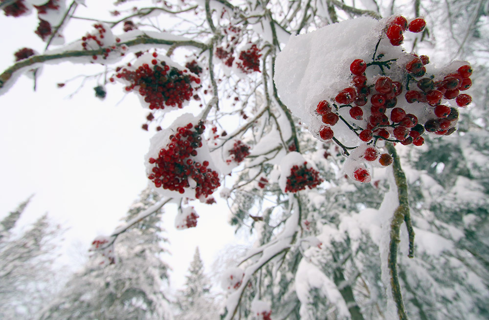 An image of snow-covered berries on a tree up by the Bryant Cabin near Bolton Valley Ski Resort in Vermont