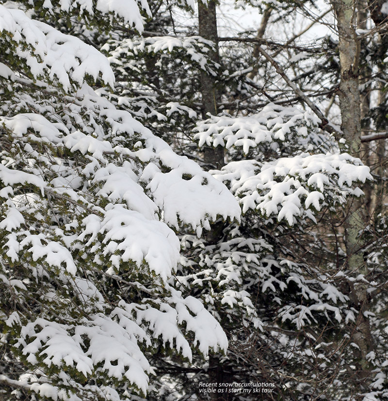 An image of fresh snow on evergreen branches at Bolton Valley Ski Resort in Vermont