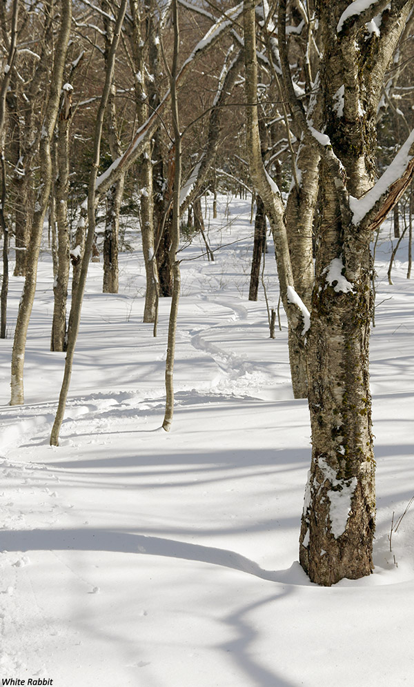 An image of a ski track in powder snow in the White Rabbit area of Bolton Valley Ski Resort in Vermont