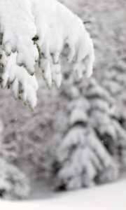 An image of snow on evergreens during a ski tour in fresh April snow at Bolton Valley Ski Resort in Vermont