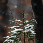 An image of a small evergreen with snow on its boughs during an October snowstorm at Stowe Mountain Resort in Vermont