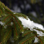 An image of snow melting in the sunshine on an evergreen bough at Bolton Valley Ski Resort in Vermont