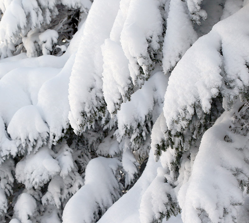 An image of snowy evergreen boughs at Bolton Valley Ski Resort in Vermont