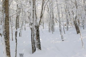 An image of the Holden's Hollow Glades on the backcountry network at Bolton Valley Ski Resort in Vermont