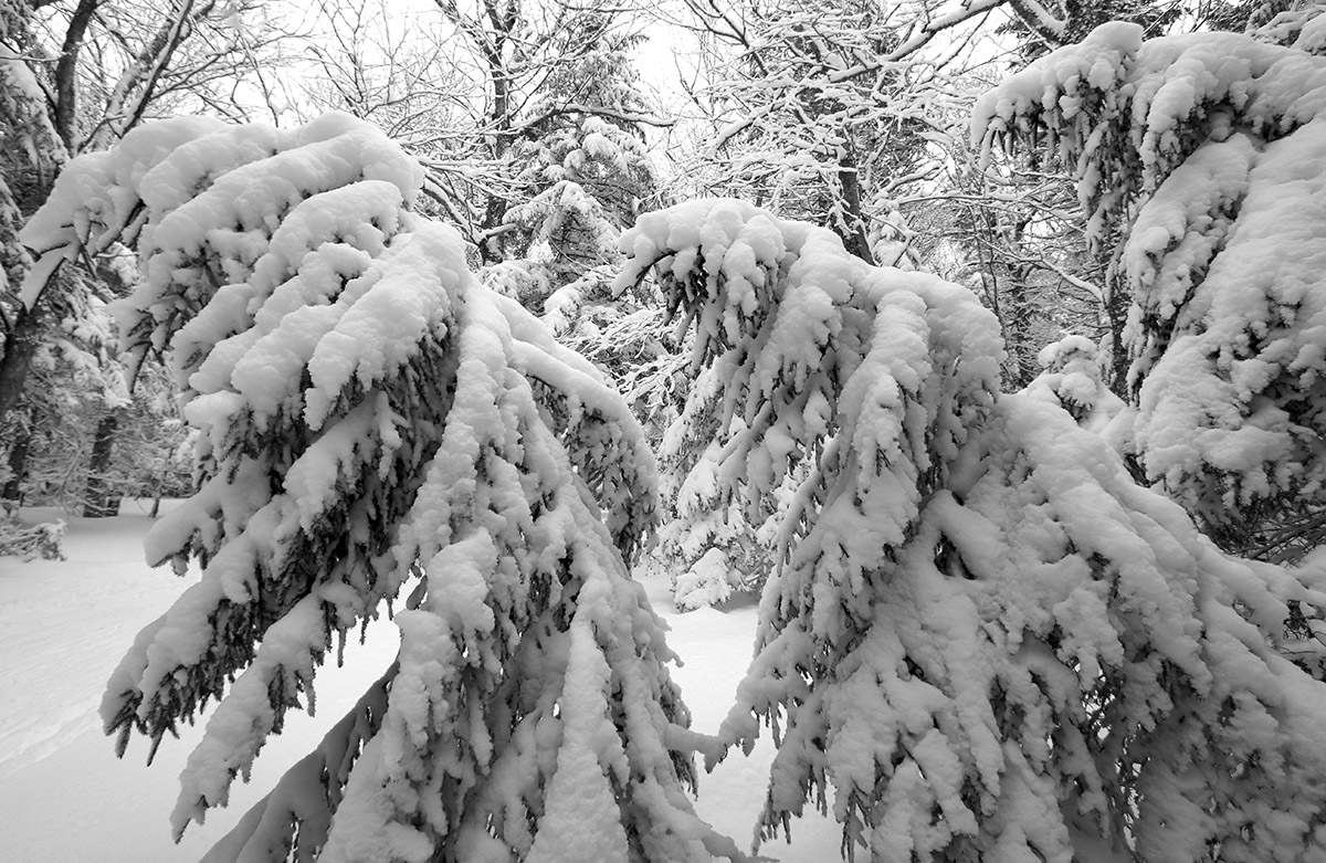 An image of evergreens bent over with loaded snow in the backcountry near Bolton Valley Ski Resort in Vermont