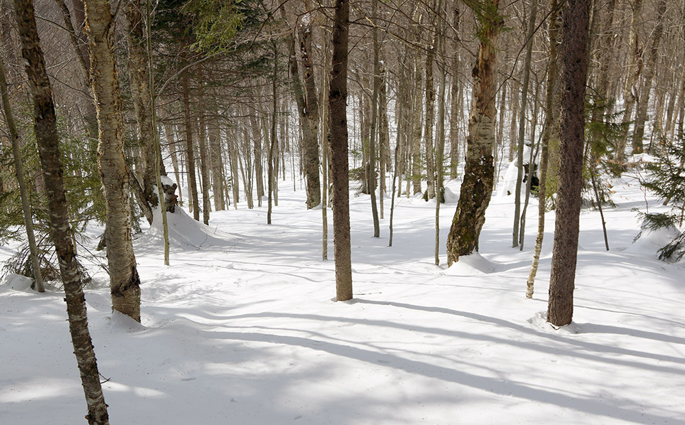 An image of an untracked glade filled with powder snow on the Backcountry Skiing Network at Bolton Valley Resort in Vermont