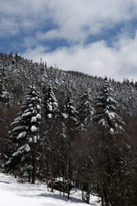 An image of sunshine and snow on evergreens after a late-April snowstorm at Bolton Valley Ski Resort in Vermont