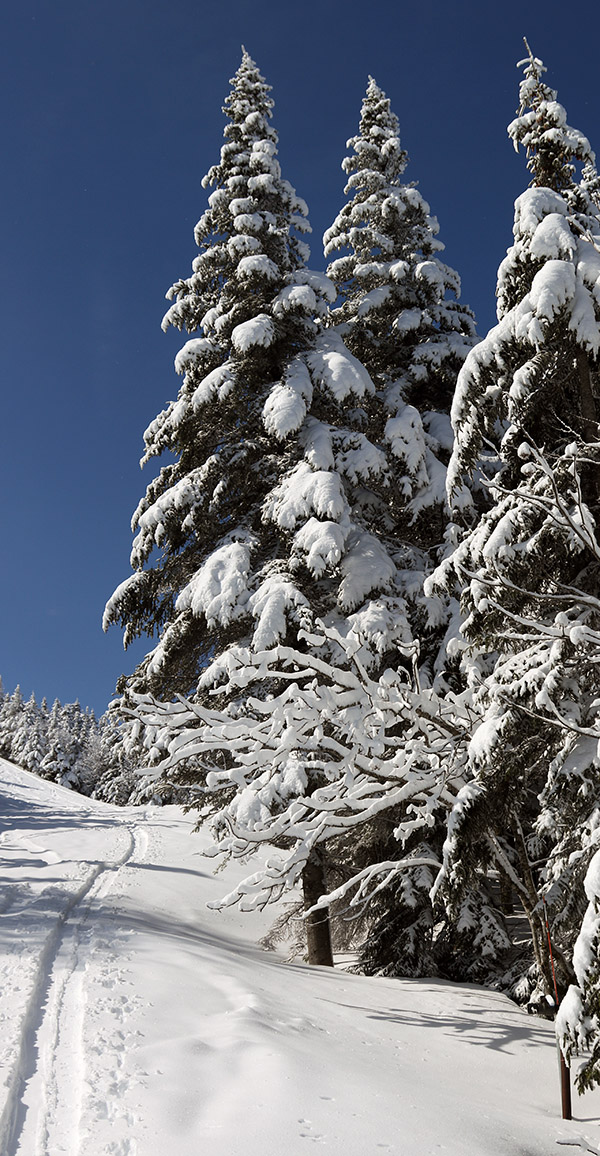 An image showing a skin track through fresh snow along snow-covered evergreens after a mid-May snowstorm at Bolton Valley Ski Resort in Vermont
