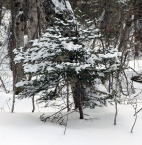 An image showing an evergreen with a bit of the snow picked up at Bolton Valley Ski Resort in Vermont from Winter Storm Gail
