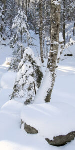 An image showing snow in the woods during January at Bolton Valley Ski Resort in Vermont