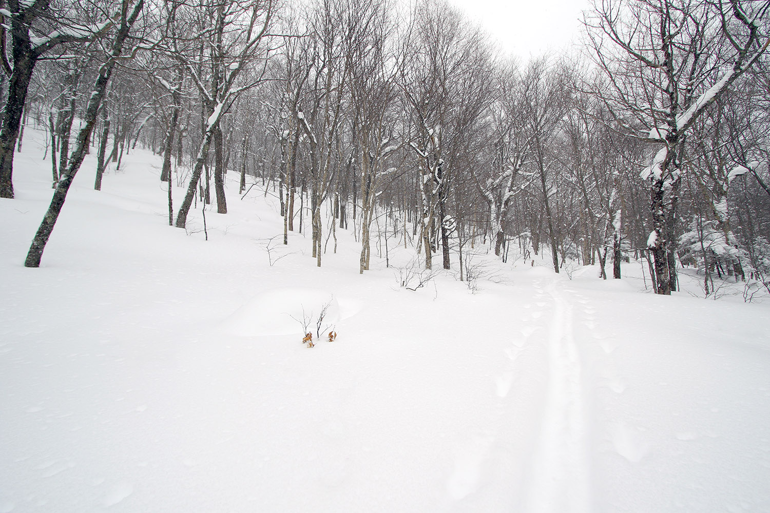 An image showing a skin track through Big Jay Basin near Jay Peak Ski Resort in Vermont, with large areas of nicely spaced trees for glade skiing in powder