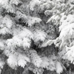 An image of snowy evergreen branches due to snow from a couple of March storms at Bolton Valley Ski Resort in Vermont
