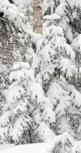 An image of snow on evergreens after an April snowstorm at Bolton Valley Ski Resort in Vermont